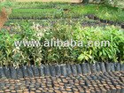 Mango Graftes Plants Available...