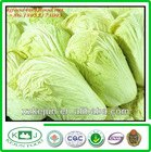 exporting grade green fresh Chinese cabbages