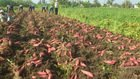 orange and red sweet potato with mrl test